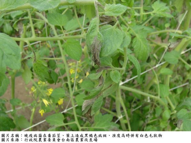 茄科晚疫病及各類作物皆易受感染的露菌病皆好發於濕涼環境且蔓延迅速