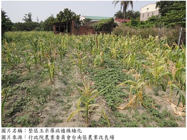 玉米薊馬為傳播玉米褪綠斑駁病毒之媒介昆蟲,受感染後植株矮化、葉片呈黃綠斑駁狀及乾枯、無法結穗。