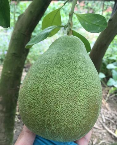 柑桔銹_取食果實表皮,造成流淚狀之褐色。