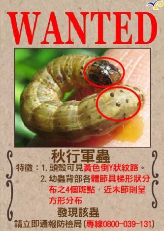 「秋行軍蟲」現蹤台灣,雲林縣動植物防疫所籲請發現立即通報。