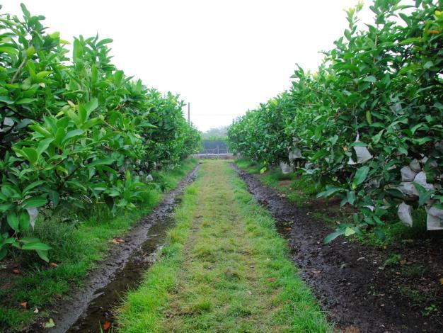 確認果園排水溝通暢,必要時重新掘深。