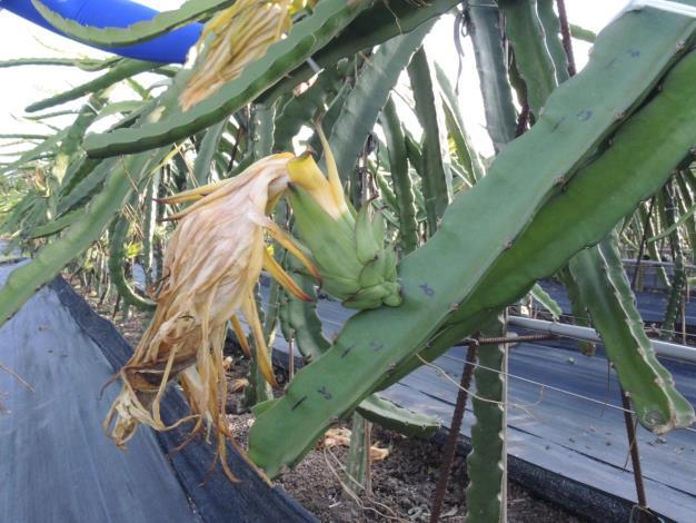 紅龍果謝花後花瓣離層產生後即可摘除