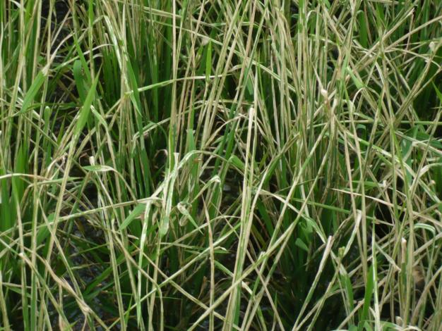 二期作水稻瘤野螟好發期 籲請農友加強防治