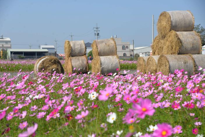 縣府與莿桐鄉公所合作,在莿桐孩沙里地區33公頃土地上,種上向日葵、黃波斯菊、白色波斯菊、紅色波斯菊、粉紅色波斯菊等打造五彩繽紛、顏色美麗的花海
