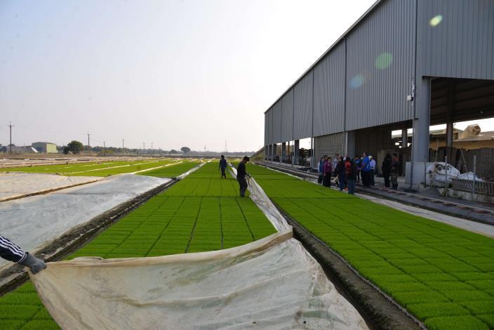 為了抵禦寒流,水稻育苗農民在水稻秧苗上加蓋塑膠布,以幫助秧苗抵禦這波低溫寒流。
