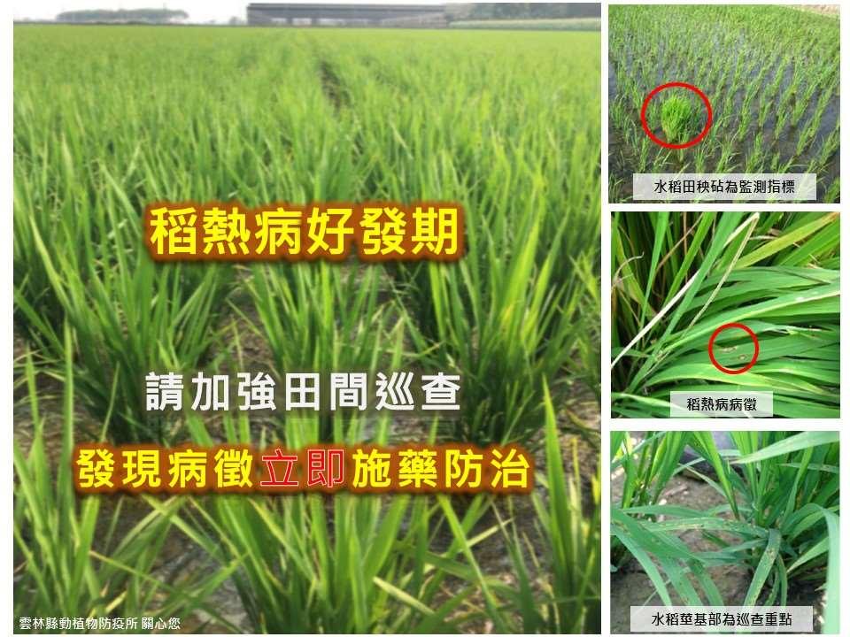水稻葉稻熱病好發期 呼籲農友加強防治工作