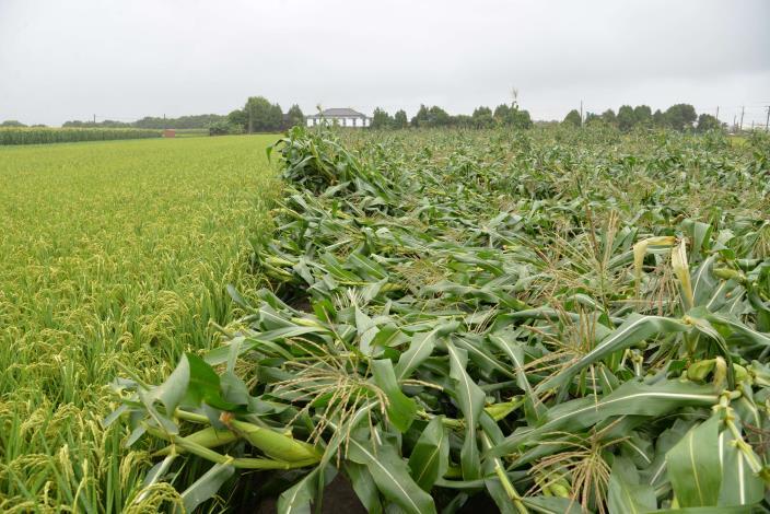 連日豪雨強風 造成即將收成的玉米倒伏嚴重