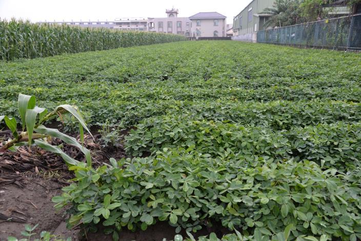 落花生病蟲害嚴重 可向農會申請農田地利改良
