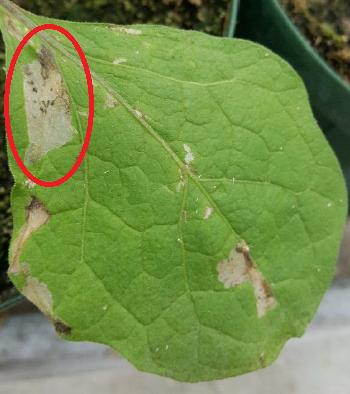 發現外來種番茄潛旋蛾 請農友巡田留意及防治