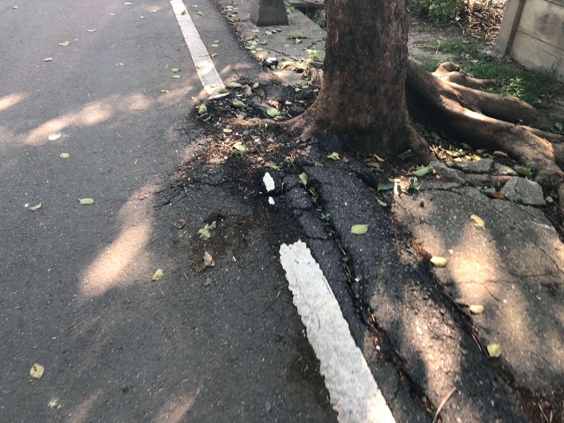施工前-根系撐破鋪面  路面凹凸不平