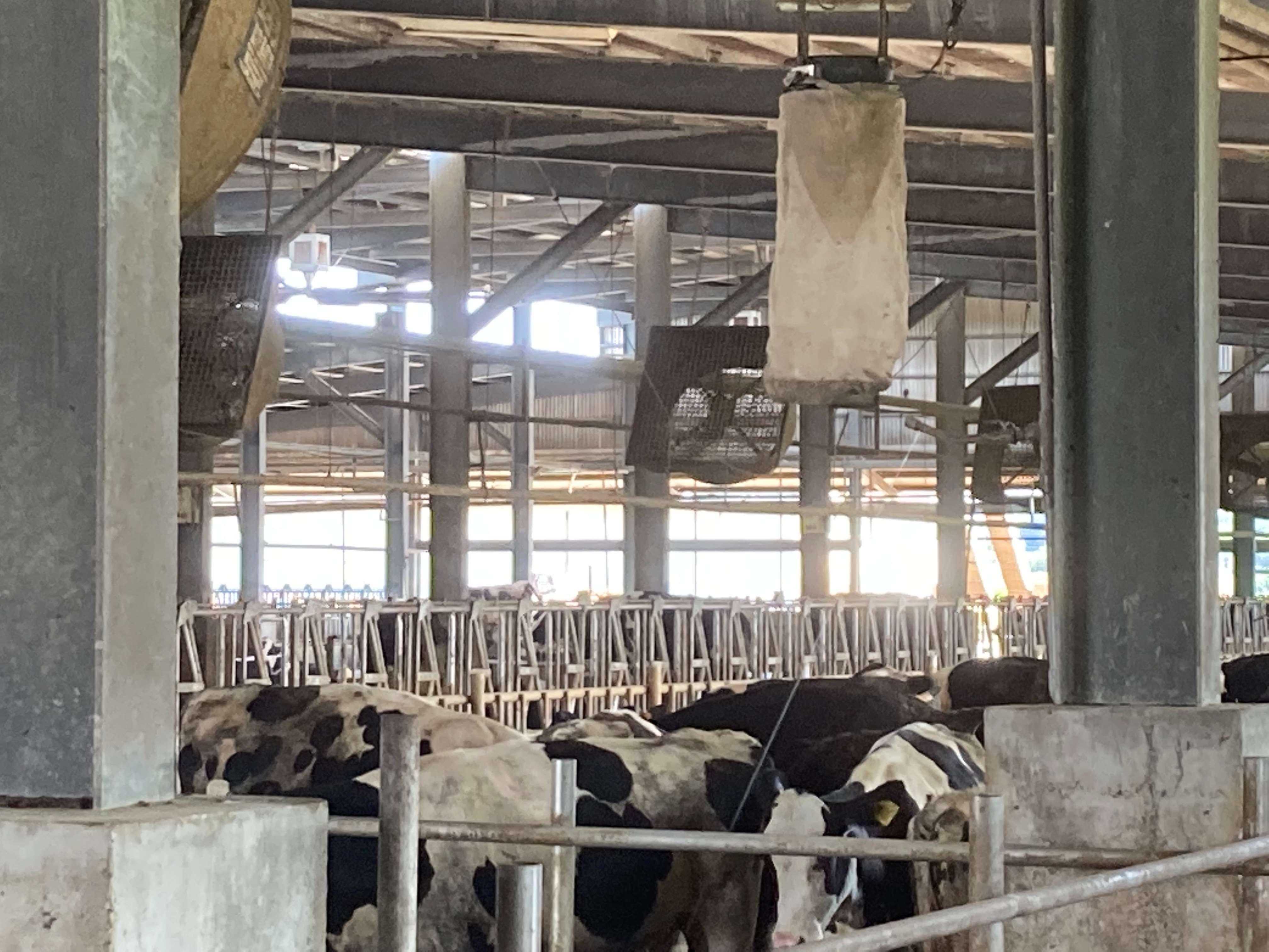 加強場內各項生物安全措施,吊掛捕蚊設備,每日檢查牛隻健康情形