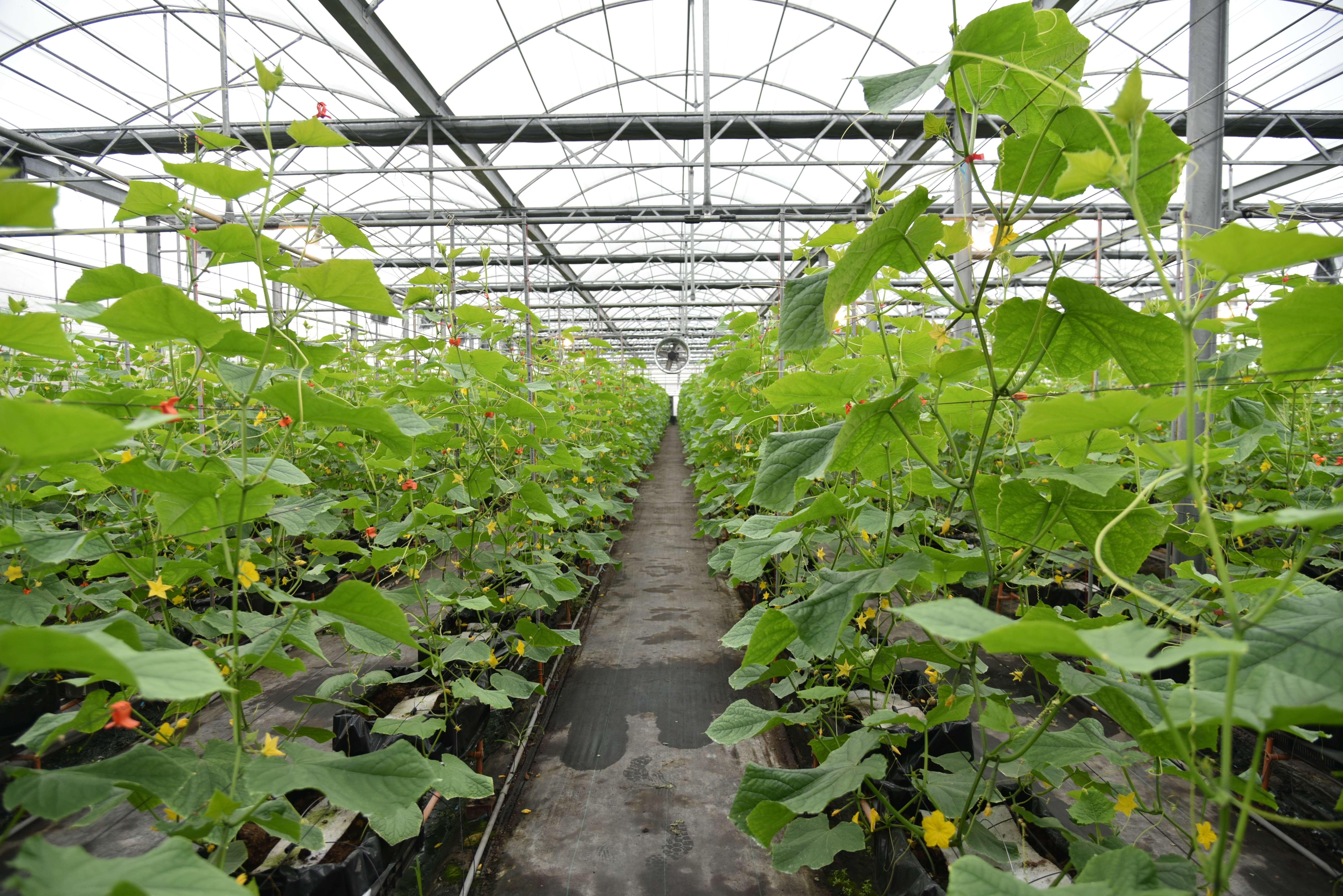 微醺農場於溫室內建立小黃瓜離地式介質栽培的標準化作業程序