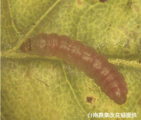 番茄潛旋蛾幼蟲