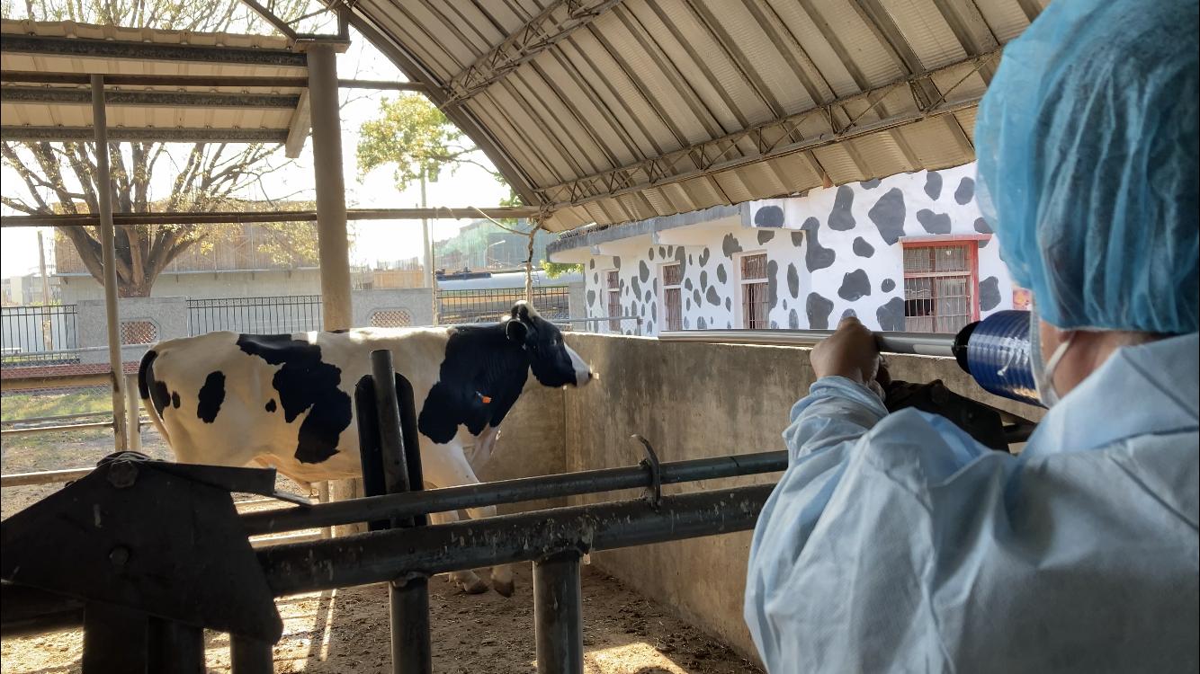 雲縣牛隻已全面完成疫苗施打  安全有保障