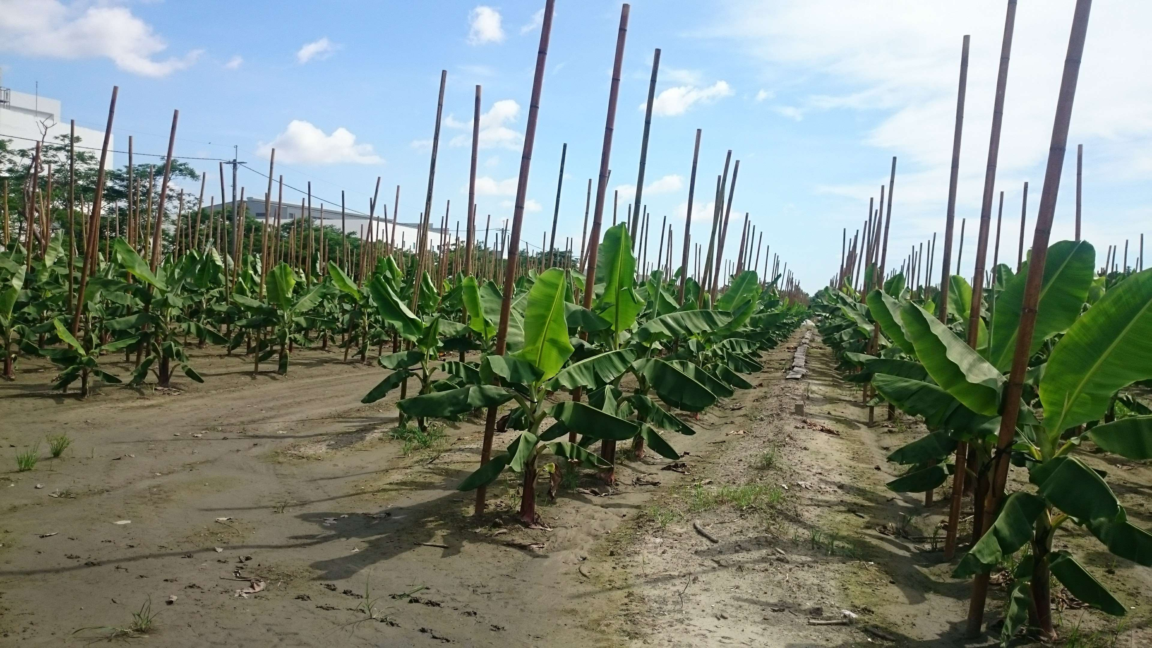 香蕉架設支柱 防風措施