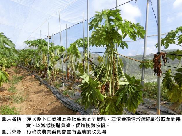 田間高溫潮濕易發生木瓜疫病呼籲農友強化田間管理