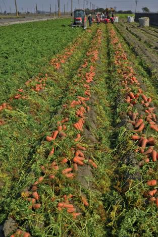 佳作-海-012-顏錫沂-紅蘿蔔豐收