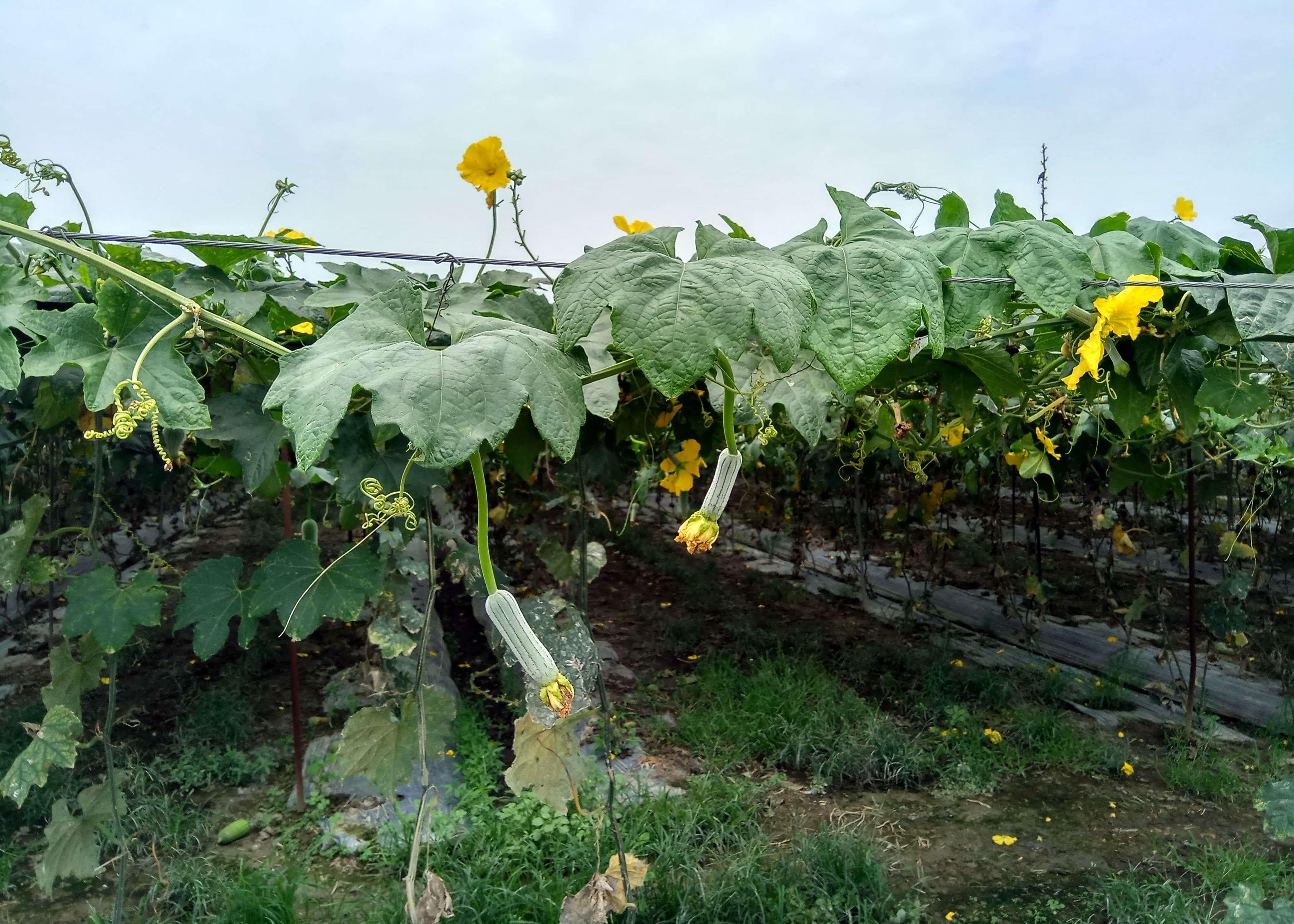 絲瓜初期開花結果照片