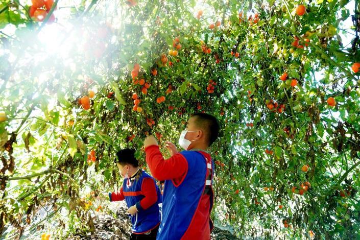 110-01-13 林內鄉立幼兒園主題戶外教學 : 小小農夫採番茄